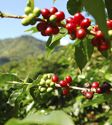 Coffee Plantation in Boquete, Panama